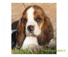 Basset hound  Puppy for sale best price in delhi