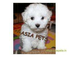 Bichon frise  Puppy for sale best price in delhi