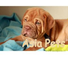 French Mastiff  Puppy for sale best price in delhi