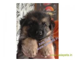 German Shepherd  Puppy for sale best price in delhi