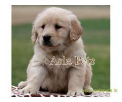 Golden retriever  Puppy for sale best price in delhi