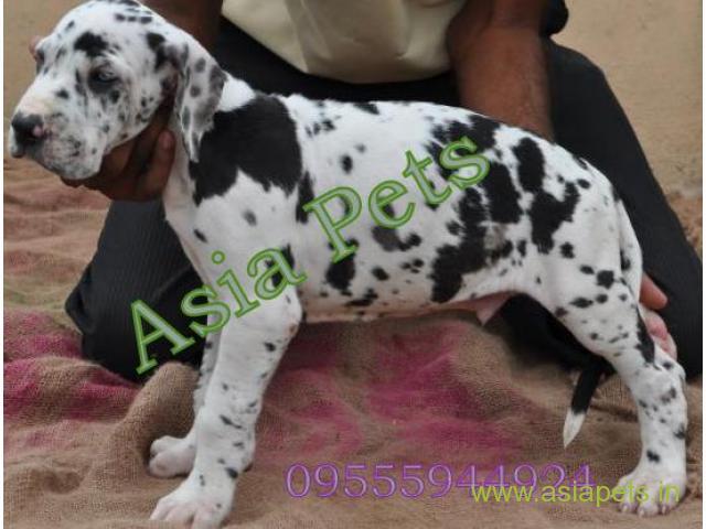 Harlequin great dane  Puppy for sale best price in delhi