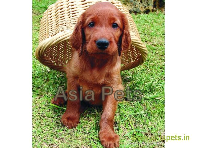 Irish setter  Puppy for sale best price in delhi