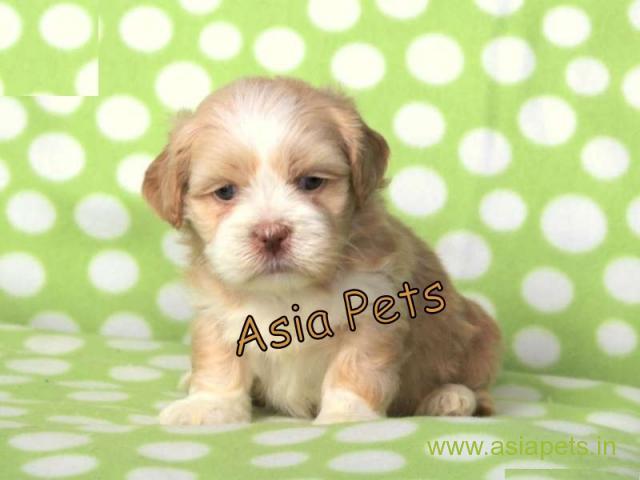 Lhasa apso  Puppy for sale best price in delhi