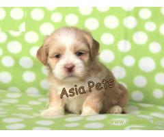 Lhasa apso  Puppy for sale best price in delhi