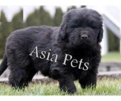 Newfoundland  Puppy for sale best price in delhi