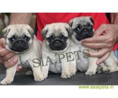 Pug  Puppy for sale best price in delhi