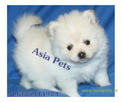 Pomeranian  Puppy for sale best price in delhi