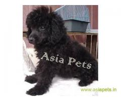 Poodle  Puppy for sale best price in delhi