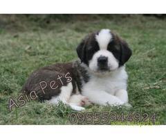 Saint bernard  Puppy for sale best price in delhi