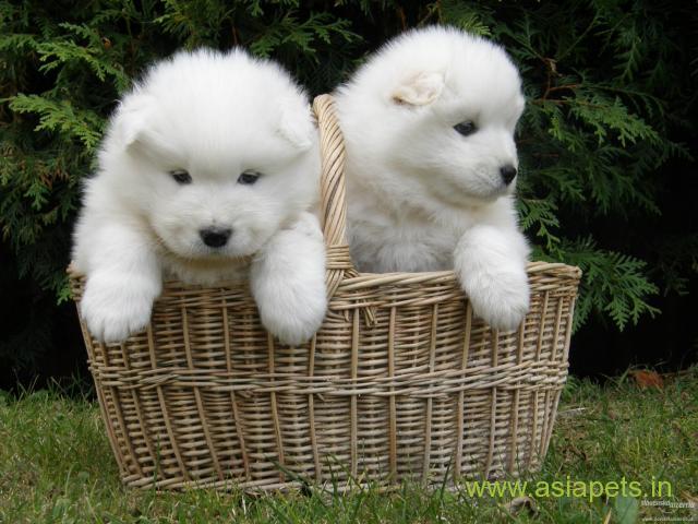 Samoyed  Puppy for sale best price in delhi