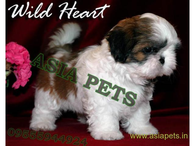 Shih tzu  Puppy for sale best price in delhi