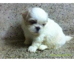 Tibetan spaniel  Puppy for sale best price in delhi