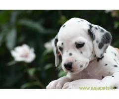 Dalmatian Puppy For Sale in Kathmandu | Best Price in Nepal