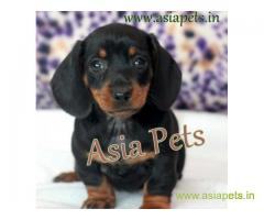 Dachshund Puppy For Sale in Kathmandu | Best Price in Nepal