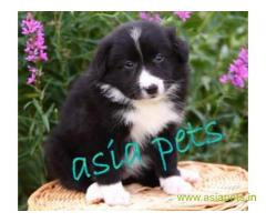 Collie Puppy For Sale in Kathmandu | Best Price in Nepal