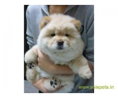 Chow chow Puppy For Sale in Kathmandu | Best Price in Nepal