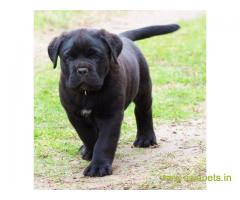 Cane corso Puppy For Sale in Kathmandu | Best Price in Nepal