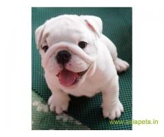 Bulldog Puppy For Sale in Kathmandu | Best Price in Nepal