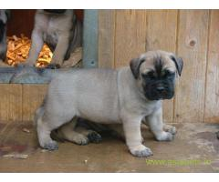 Bullmastiff Puppy For Sale in Kathmandu | Best Price in Nepal