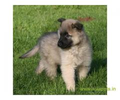 Belgian shepherd dog Puppy For Sale in Kathmandu | Best Price in Nepal