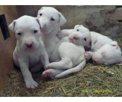 Pakistani bully dogs Puppy For Sale in Kathmandu | Best Price in Nepal