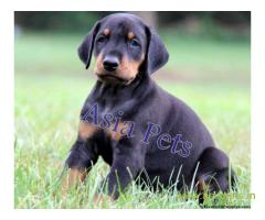 Doberman Puppy For Sale in Kathmandu | Best Price in Nepal