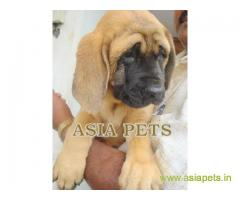 English Mastiff Puppy For Sale in Kathmandu | Best Price in Nepal