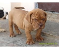 French Mastiff Puppy For Sale in Kathmandu | Best Price in Nepal