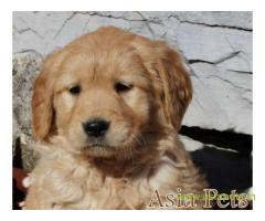 Golden retriever Puppy For Sale in Kathmandu | Best Price in Nepal