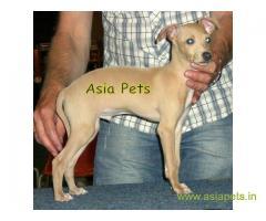 Greyhound Puppy For Sale in Kathmandu | Best Price in Nepal