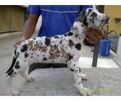 Harlequin great dane Puppy For Sale in Kathmandu | Best Price in Nepal