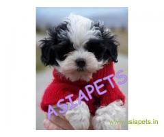 Havanese Puppy For Sale in Kathmandu | Best Price in Nepal