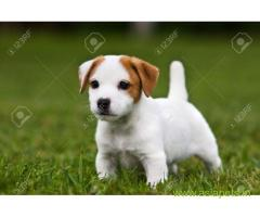 Jack russell terrier Puppy For Sale in Kathmandu | Best Price in Nepal