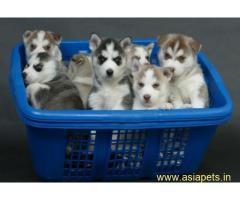 Siberian husky Puppy For Sale in Kathmandu | Best Price in Nepal