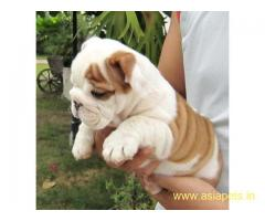 English Bulldog Puppy For Sale in Kathmandu | Best Price in Nepal