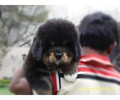 Tibetan mastiff Puppy For Sale in Kathmandu | Best Price in Nepal
