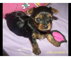 Silky Terrier (Australian) Puppy For Sale in Kathmandu | Best Price in Nepal