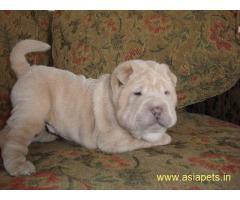 Shar pei Puppy For Sale in Kathmandu | Best Price in Nepal