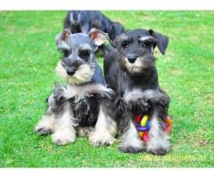Schnauzer Puppy For Sale in Kathmandu | Best Price in Nepal