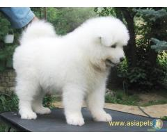 Samoyed Puppy For Sale in Kathmandu | Best Price in Nepal