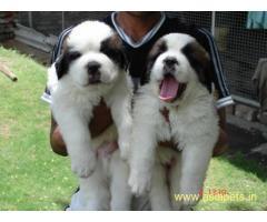Saint bernard Puppy For Sale in Kathmandu | Best Price in Nepal
