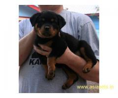 Rottweiler Puppy For Sale in Kathmandu   Best Price in Nepal