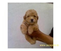 Poodle Puppy For Sale in Kathmandu | Best Price in Nepal