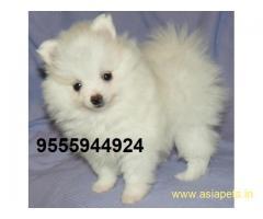 Pomeranian Puppy For Sale in Kathmandu | Best Price in Nepal