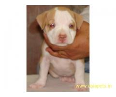 Pitbull Puppy For Sale in Kathmandu   Best Price in Nepal