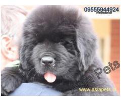 Newfoundland Puppy For Sale in Kathmandu | Best Price in Nepal
