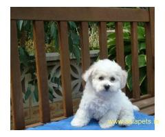 Bichon Frise Puppy For Sale, Best Price in Vikas Puri