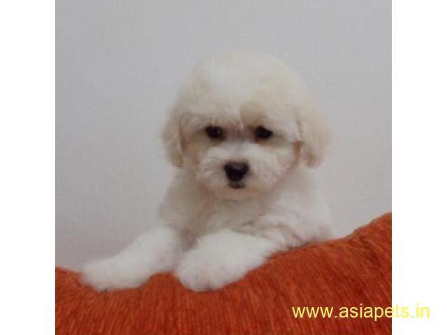Bichon Frise Puppy For Sale, Best Price in Vikas Puri