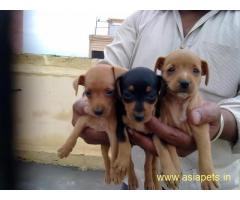 Miniature pinscher Puppy For Sale in Kathmandu | Best Price in Nepal